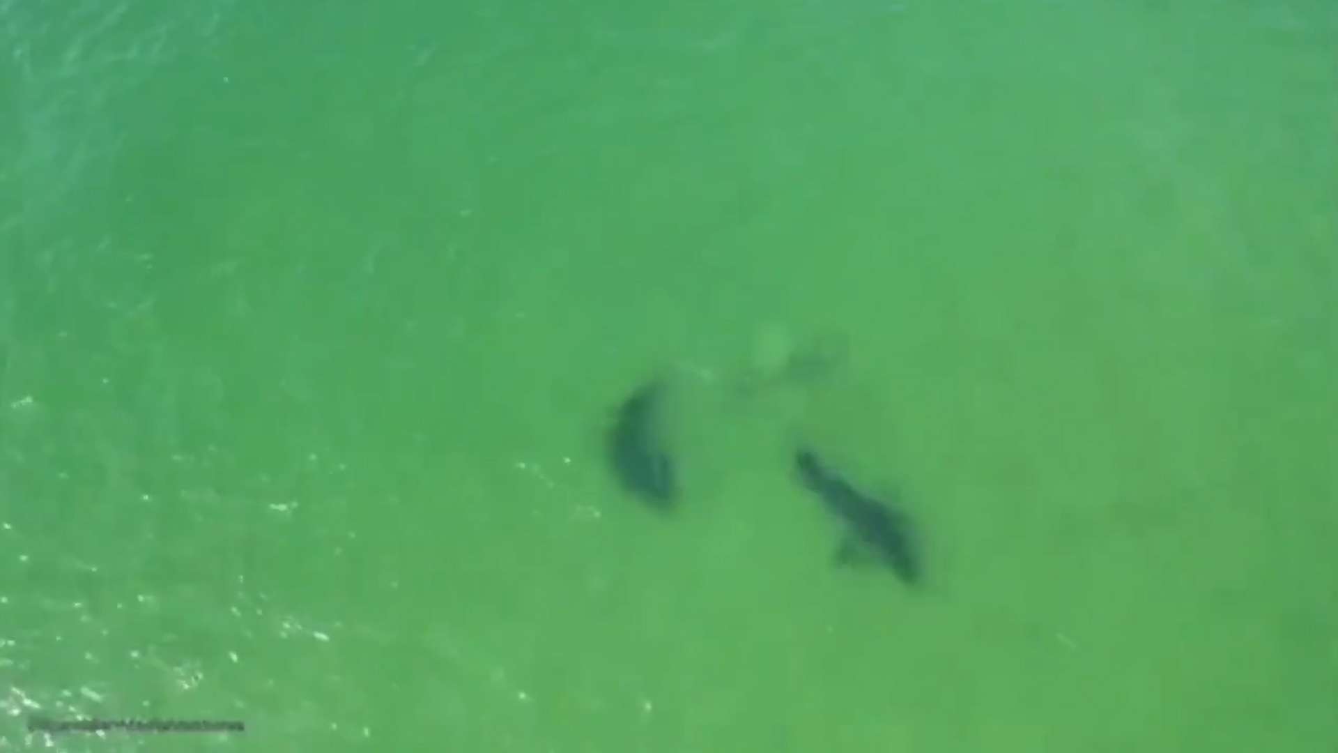 Drone footage shows sharks fighting each other off Cape Cod - The